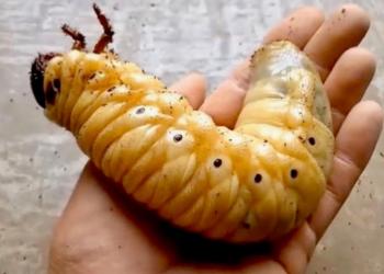 5 Kumbang dengan Tingkah Laku yang Pelik